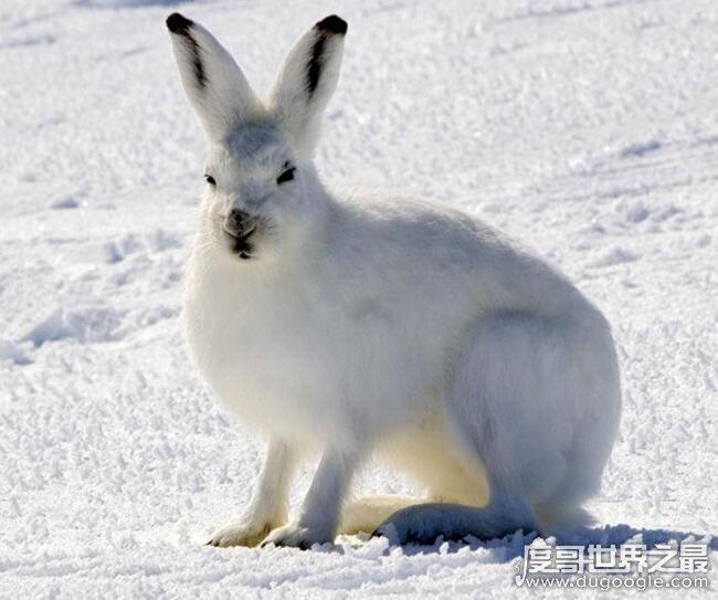 世界上速度最快的兔子,欧洲野兔(以20米/秒的速度称王)