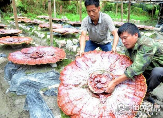 世界上最大的灵芝,越南440斤重灵芝王夺冠(中国最大253斤)