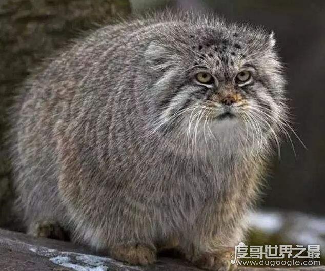 世界十大禁养名猫,私人饲养这些猫属于违法(名单)
