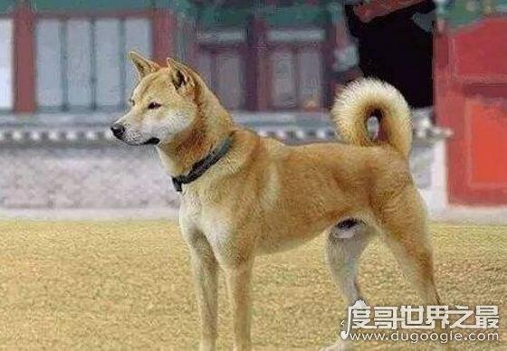 中华田园犬为什么禁养,专家称具有烈性基因(攻击性强)