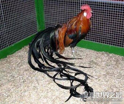 世界上羽毛最长的鸟,长尾鸡尾羽最高可达12.5米