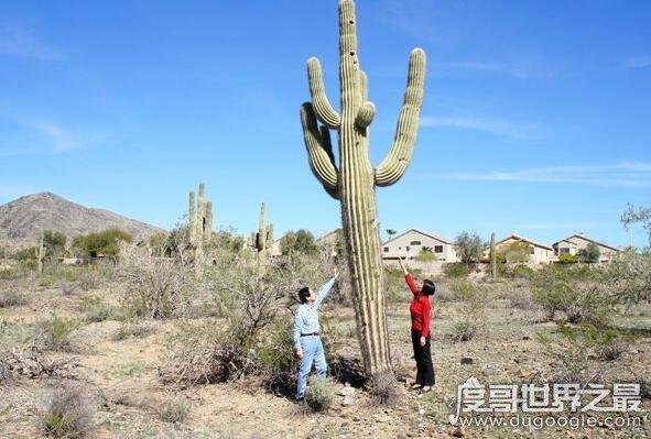 世界上最高的仙人掌,巨柱仙人掌最高可达20米