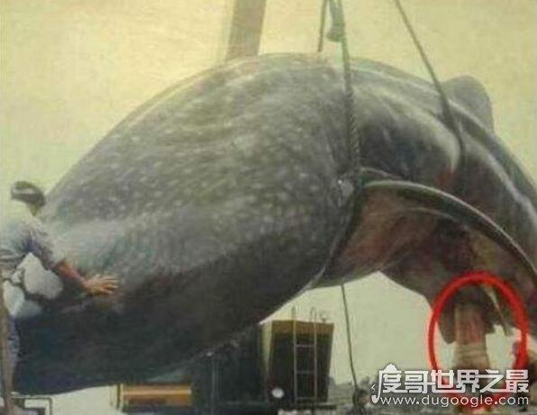世界上舌头最长的动物:蓝鲸(舌头重达3吨/能站立50个人)