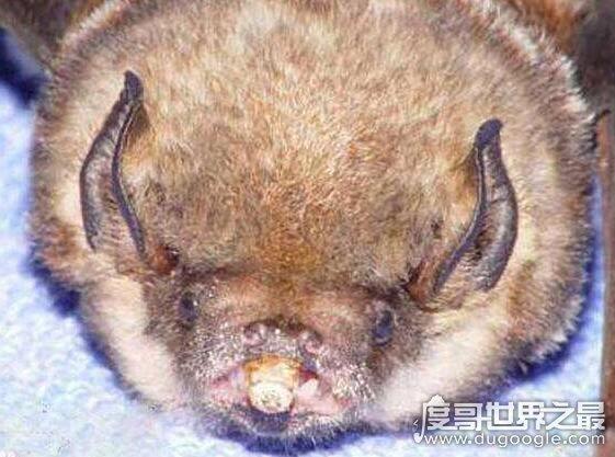 世界上最凶猛的蝙蝠,猪脸大蝙蝠嗜血食肉凶猛又罕见