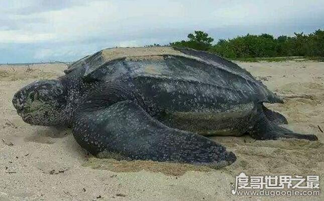 世界上最大的龟类,棱皮龟为龟类之最(长2.5米/重达1吨)
