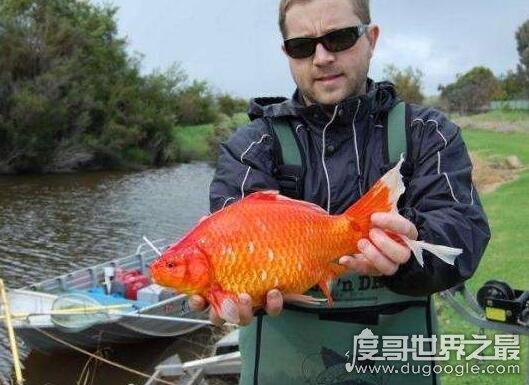 世界上最大的金鱼,一条有30斤重1米多长超级壮的金鱼