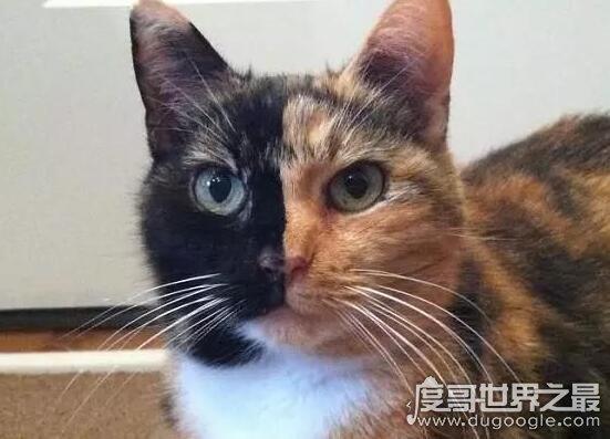 世界上最罕见的猫,神奇而罕见的双面猫(一张脸被分为两块)