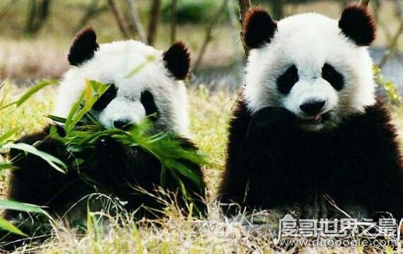 大熊猫为什么是国宝_大熊猫为什么是国宝,我国特有且数量稀少(非常的受欢迎) — 度 ...