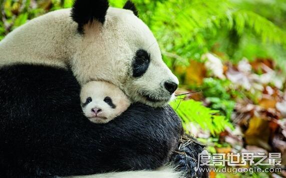大熊猫为什么是国宝,我国特有且数量稀少(非常的受欢迎)