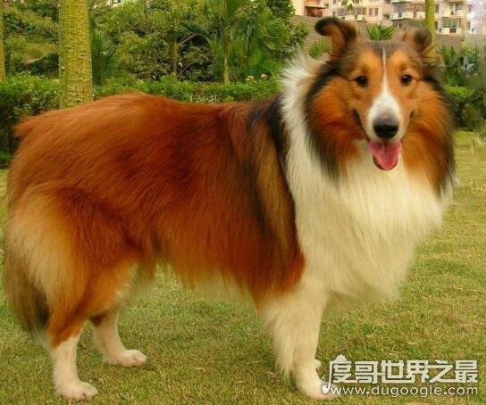 世界上最耐寒的狗,这几种狗狗抗寒能力超强(哈士奇上榜)