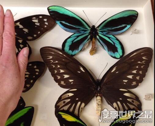 世界上最大的蝴蝶,亞歷山大女皇鳥翼鳳蝶(翼展31cm/體長8cm)