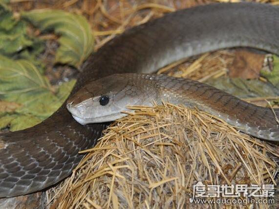 世界上速度最快的蛇,能追上马的黑曼巴蛇毒性还非常的强
