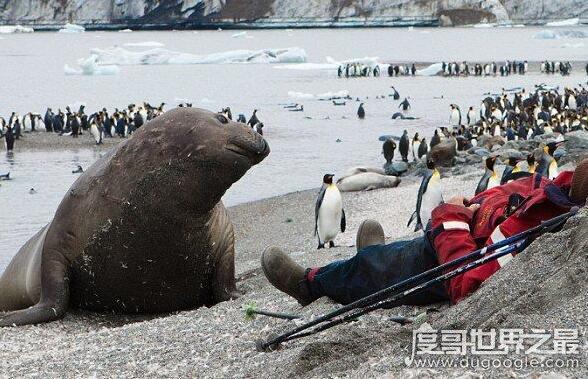 世界上最大的海豹,象海豹最大能超过6米长3.6吨重