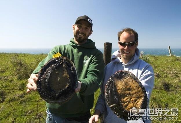 世界上最珍貴最稀有的鮑魚,半頭鮑(一只就要上萬元)
