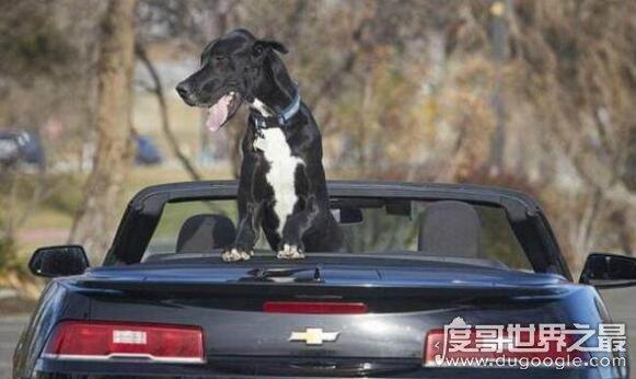2.1米世界最高狗,一只体型巨大堪比小型骏马的狗狗