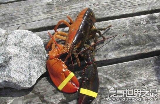 世界上最罕见的龙虾,双色龙虾(出现概率为五千万分之一)