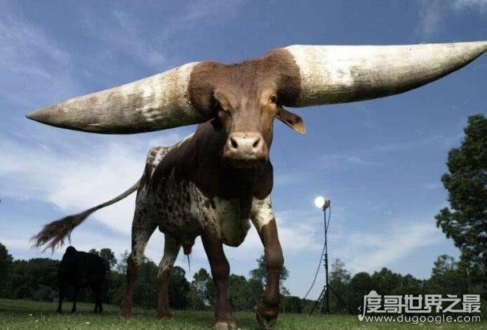 世界上最大最长的牛角,最大180斤/最长达3米(图)
