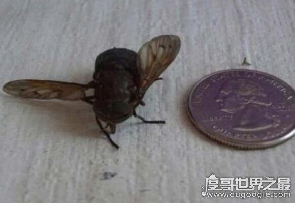 世界上最大的苍蝇,英雄拟食虫虻可以长到7厘米长