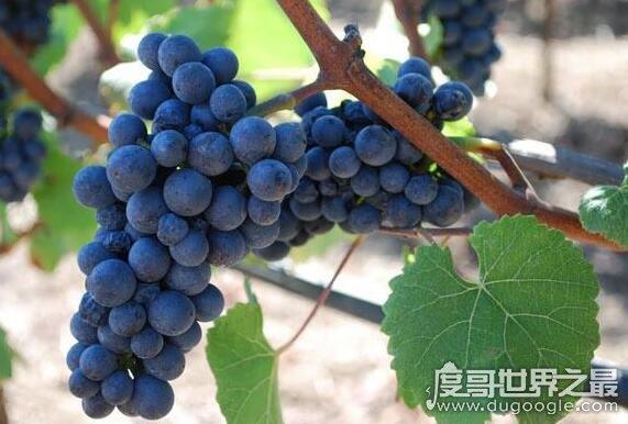盘点世界上最贵的葡萄,吃过的人都是土豪(最贵2424元一颗)