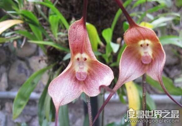 世界上最可爱的兰花,猴面小龙兰(长的奇特呆萌的花朵)