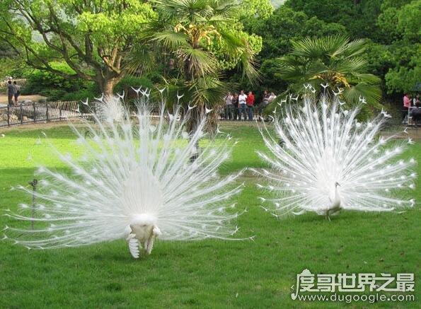世界上最美的孔雀,白孔雀开屏太美了(羽毛洁白没有一丝杂色)