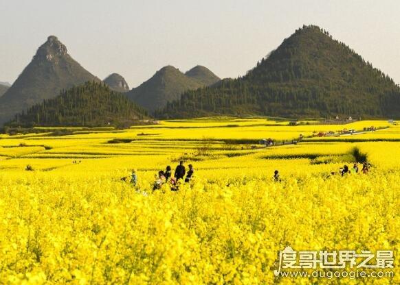 中国最大的油菜花田,占地20万亩的罗平油菜花田宛如仙境