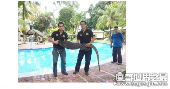 世界上最大的壁虎,大壁虎可达2.3米(因药用价值大面临濒危)