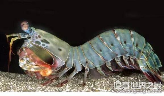 世界上最凶猛的虾,手枪虾的绝招冲击波能够轻易击晕猎物