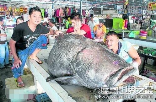 世界上最大的龙趸鱼,马来西亚渔民捕获400斤龙趸王