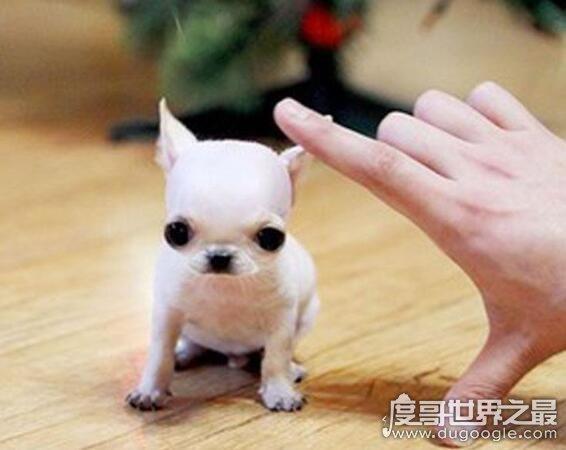 世界上最小的吉娃娃,身材仅7.62厘米的它已经停止生长了