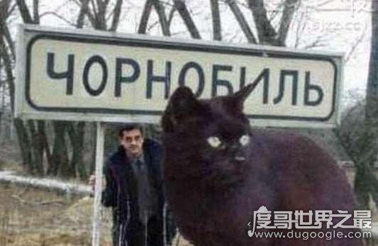 世界上最大的猫能有多大,726斤巨猫Angie现身乌克兰