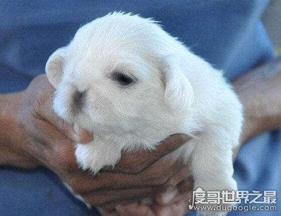 世界上最稀少最珍貴的狗,鷹叭犬數量比大熊貓還要稀少