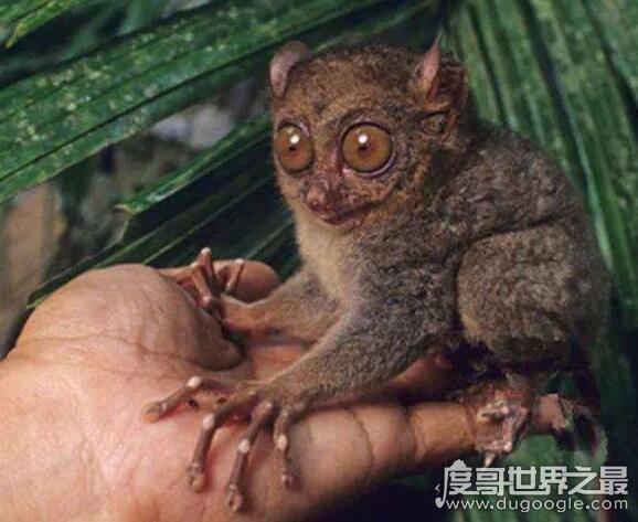 世界上最小的猴子,侏儒眼鏡猴體長僅11CM和老鼠般大