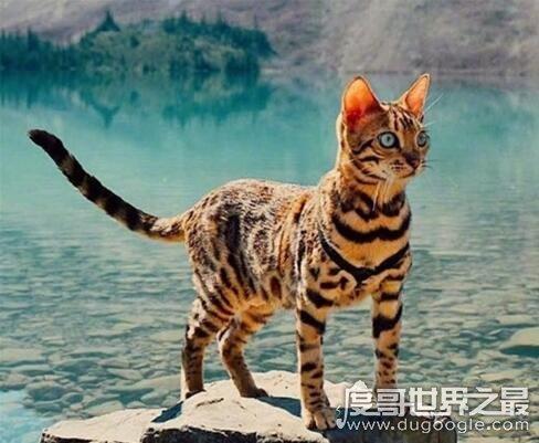 世界十大最贵的猫咪,阿什拉猫排第一售价61万(波斯猫仅第五)