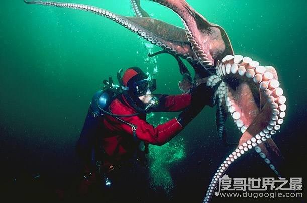 新橙的章鱼太平洋巨型章鱼,体重超成年人两倍多(周长5米)