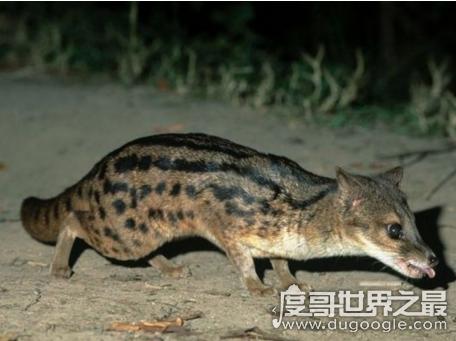 交配时间最长的动物马岛缟狸,长达8小时创世界纪录(还每天4次)
