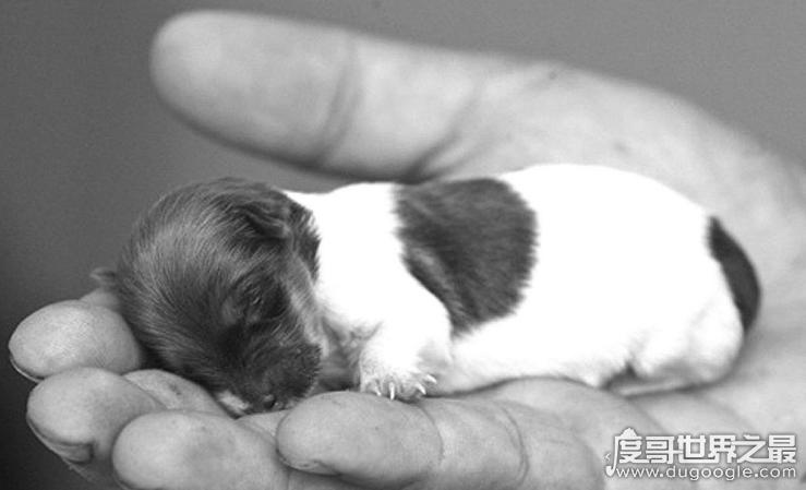 世界上最小狗的犬种,吉娃娃仅20cm左右(身高似铅笔)