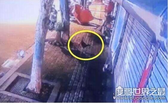 """女子9000元宠物鸡被偷,竟是一只""""斗鸡""""(市场价3000元/斤)"""