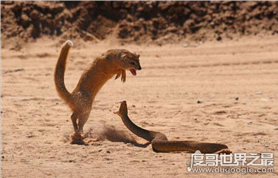 动物世界蛇的天敌大盘点,蛇獴只能算第二(第一竟是它)