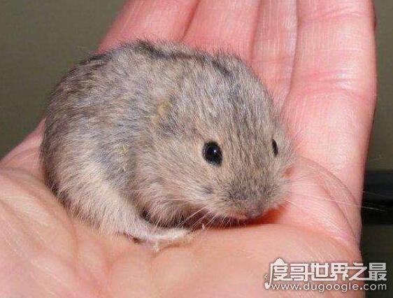 世界上繁殖最快的动物,北极旅鼠一年可以繁殖1647086只后代