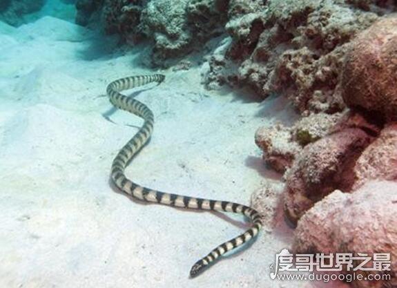 世界上最毒的蛇,裂颊海蛇比眼镜蛇毒8倍(咬后无痛感却能致死)