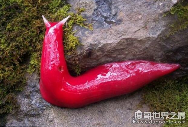 新橙的巨型鼻涕虫图片,巨型粉红鼻涕虫长达20厘米