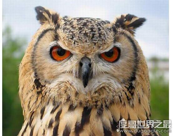 猫头鹰吃什么,主要以鼠类为食也吃昆虫、小鸟和鱼等动物