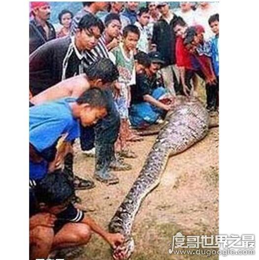 大蛇吃人事件_大蟒蛇吃人事件是真的吗?大蟒蛇将农妇生吞画面惨不忍