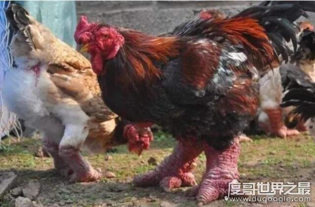 新橙的鸡爪,越南东涛鸡(一对鸡爪就要上千元)