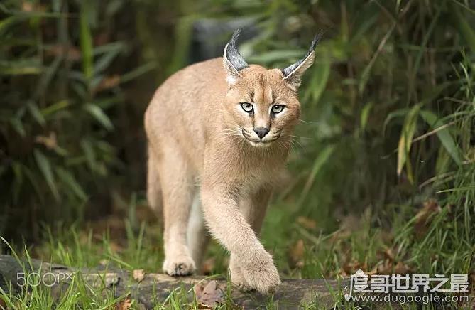 世界十大禁养名猫盘点,老虎排第一狮子排第二(白送你都不敢养)