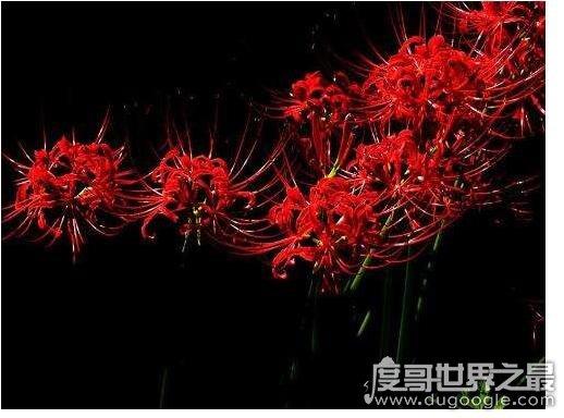 冥界四花的介绍,这4种花的花语都与死亡有关(美丽却令人害怕)