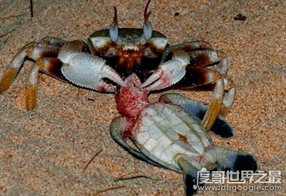 螃蟹吃什么,它们并不挑食什么都可以吃(小鱼虾是它们的最爱)