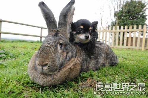 世界上最大的兔子大流士,体长1.22米(世界最重的兔子体重90斤)