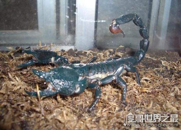 新橙的蝎子,非洲帝王蝎(成体能够长到30厘米以上)